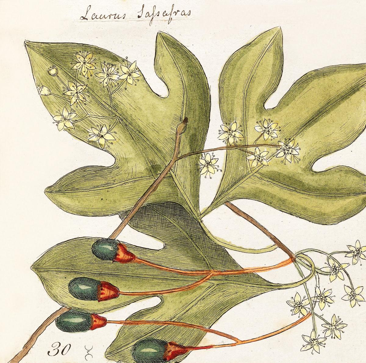 Tupelo Tree (Arbor in aqua nafeens) , Red Bay (Laurus Carolinenfis), Purple-berried Bay (Liguftrum Lauri folio), Saffafras Tree (Cornus Mas odorato) from The Natural History of Carolina, Florida, and the Bahama Islands (1754) by Mark Catesby (1683-1749).  #396603
