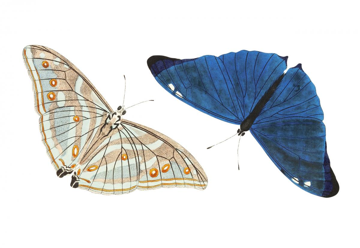 Adonis or Bright-blue Butterfly illustration from The Naturalist's Miscellany (1789-1813) by George Shaw (1751-1813)