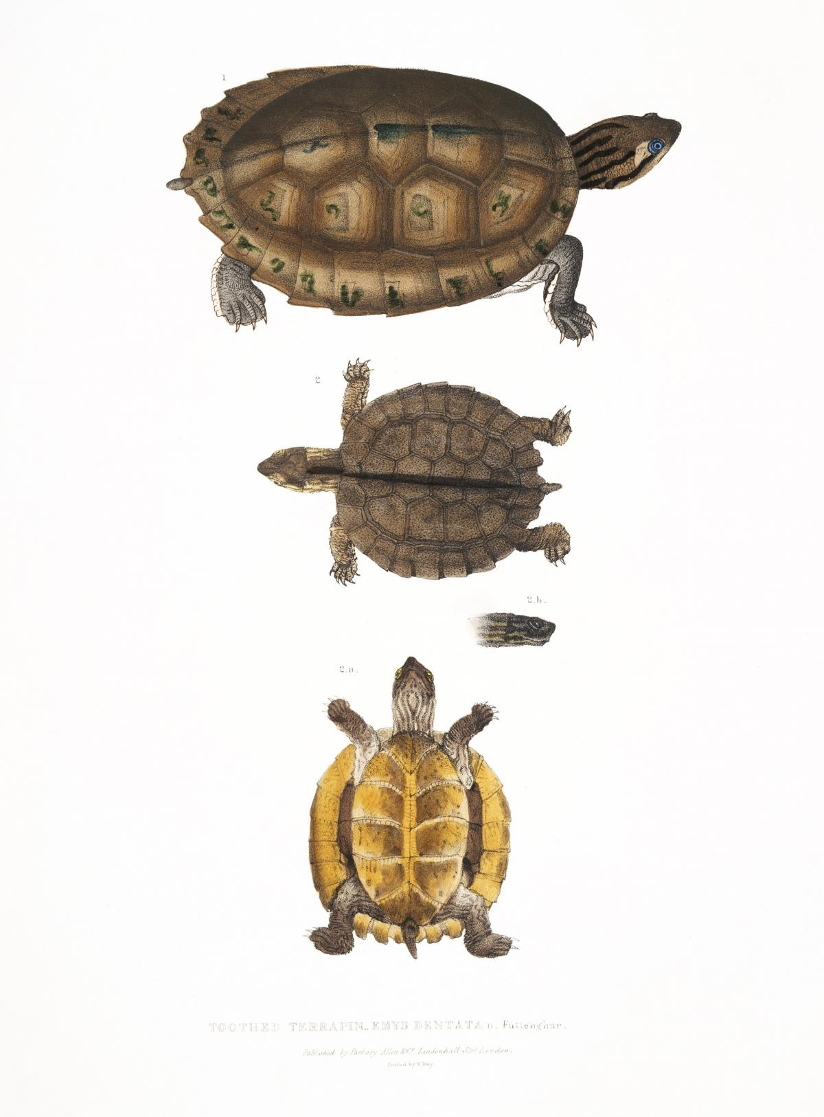 Toothed Terrapin (Emys dentata) from Illustrations of Indian zoology (1830-1834) by John Edward Gray (1800-1875). Original from The New York Public Library.