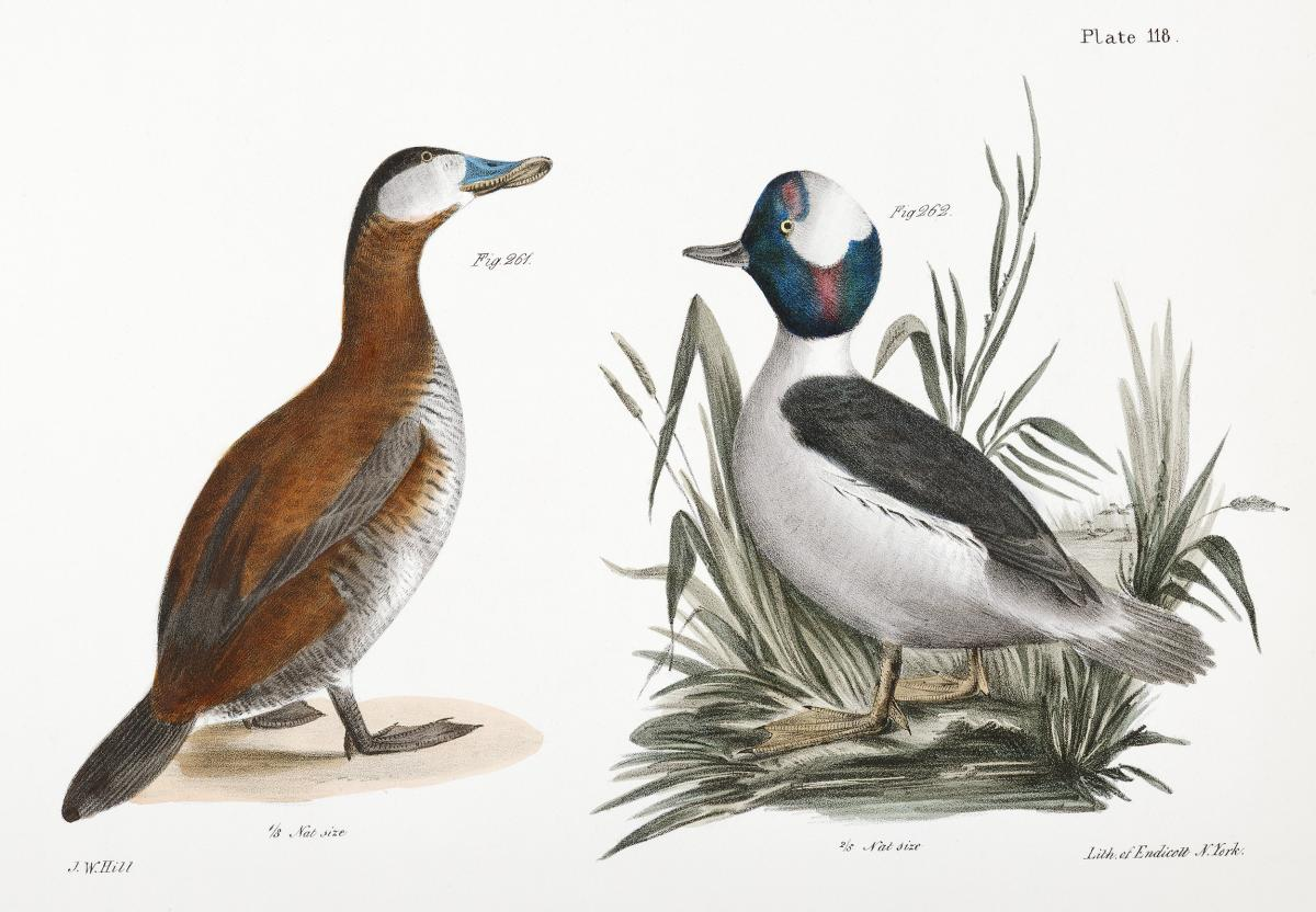 261. Ruddy Duck (Fuligula rubida) 262. Buffle-headed Duck (Fuligula albeola) illustration from Zoology of New York (1842–1844) by James Ellsworth De Kay. Original from The New York Public Library.  #397237
