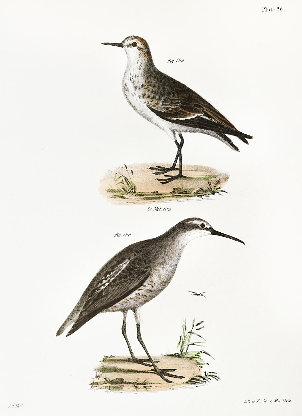 195. Semipalmated Sandpiper (Heterepoda semipalmata) 196. Long-legged Sandpiper (Hemipalma himantopus) illustration from Zoology of New York (1842–1844) by James Ellsworth De Kay. Original from The New York Public Library.  #397377