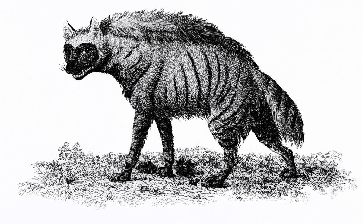 Striped Hyena from Zoological lectures delivered at the Royal institution in the years 1806-7 illustrated by George Shaw (1751-1813). Original from The New York Public Library.