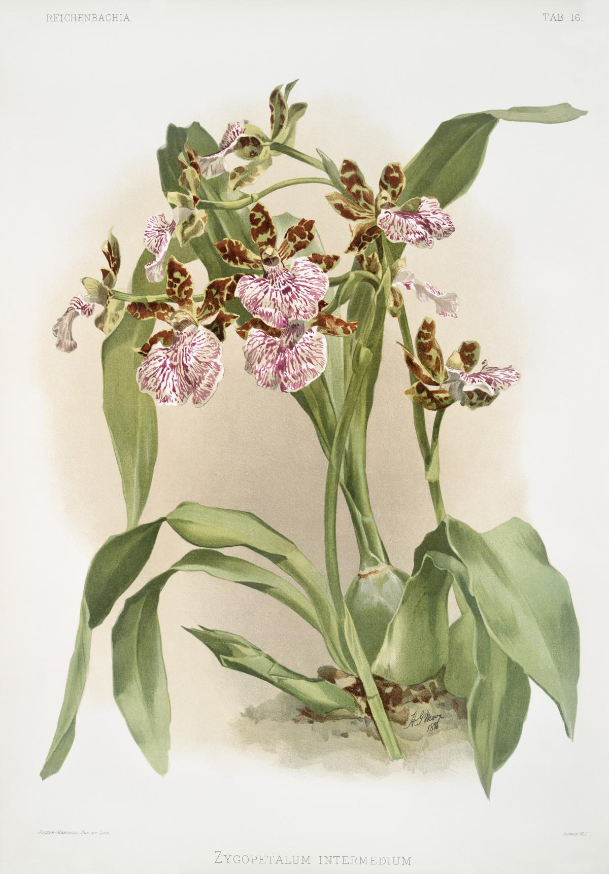Zycopetalum intermedium from Reichenbachia Orchids (1888-1894) illustrated by Frederick Sander (1847-1920). Original from The New York Public Library.  #397901