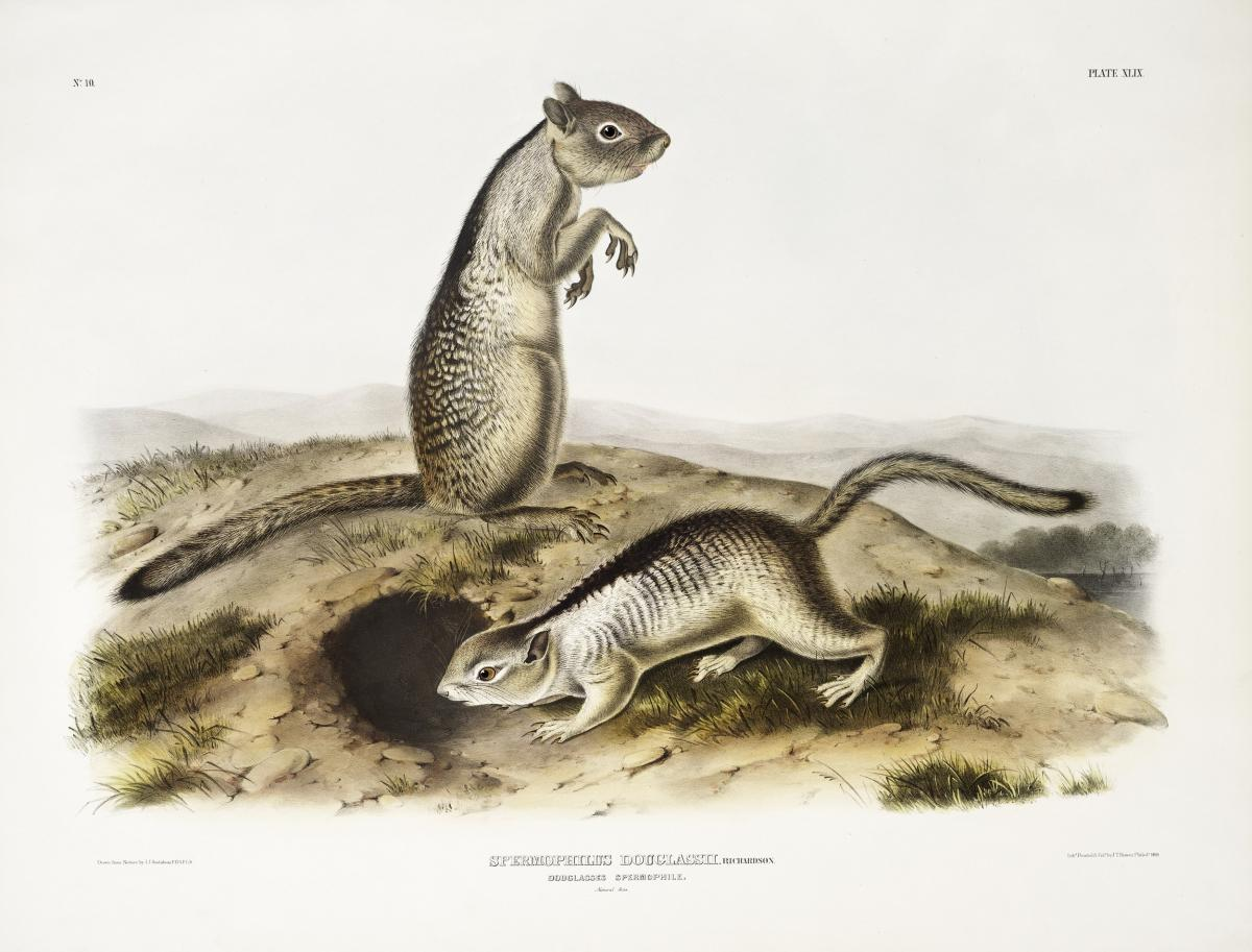 Douglasse's Spermophile (Spermophilus Douglassii) from the viviparous quadrupeds of North America (1845) illustrated by John Woodhouse Audubon (1812-1862). Original from The New York Public Library.  #398146