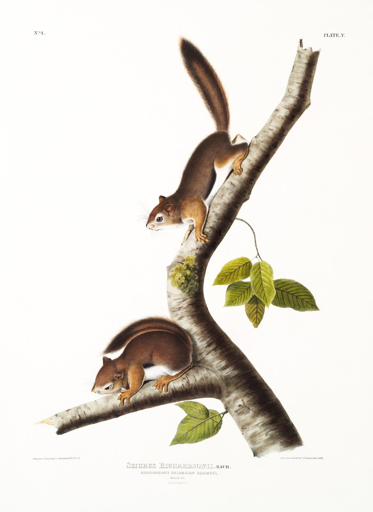 Richardson's Columbian Squirrel (Sciurus Richardsonii) from the viviparous quadrupeds of North America (1845) illustrated by John Woodhouse Audubon (1812-1862). Original from The New York Public Library.
