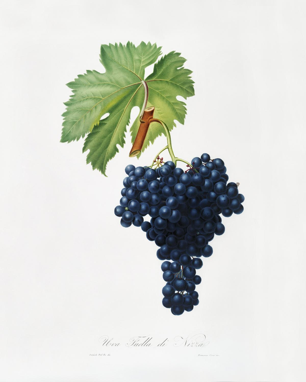 Fuella grapes (Vitis vinifera Bellettensis) from Pomona Italiana (1817 - 1839) by Giorgio Gallesio (1772-1839). Original from The New York Public Library.