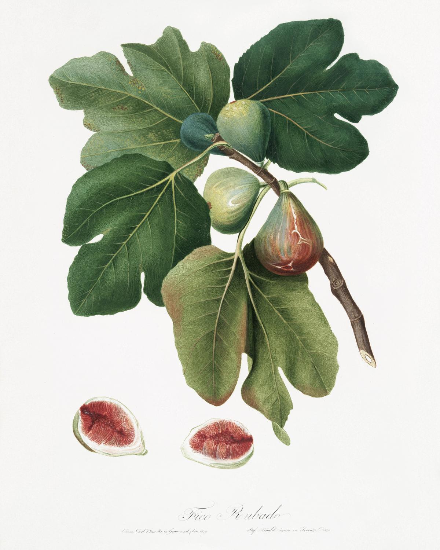 Common Fig (Ficus carica sativa) from Pomona Italiana (1817 - 1839) by Giorgio Gallesio (1772-1839). Original from The New York Public Library.  #398253