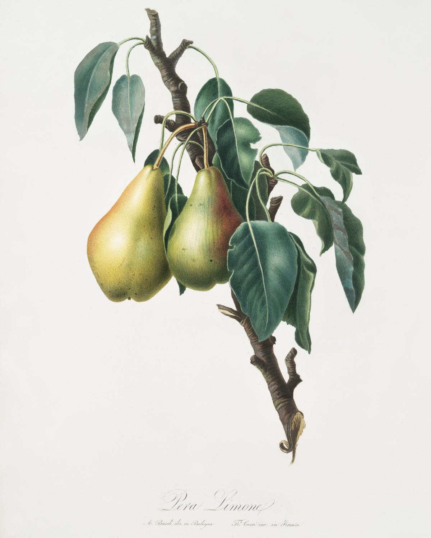 Lemon Pear (Pyrus limonia) from Pomona Italiana (1817 - 1839) by Giorgio Gallesio (1772-1839). Original from The New York Public Library.  #398317
