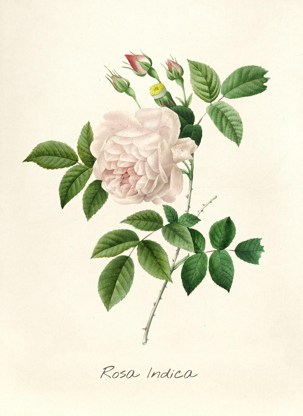 Antique plant drawn by Pierre-Joseph Redouté (1759–1840 ). Original from Biodiversity Heritage Library.