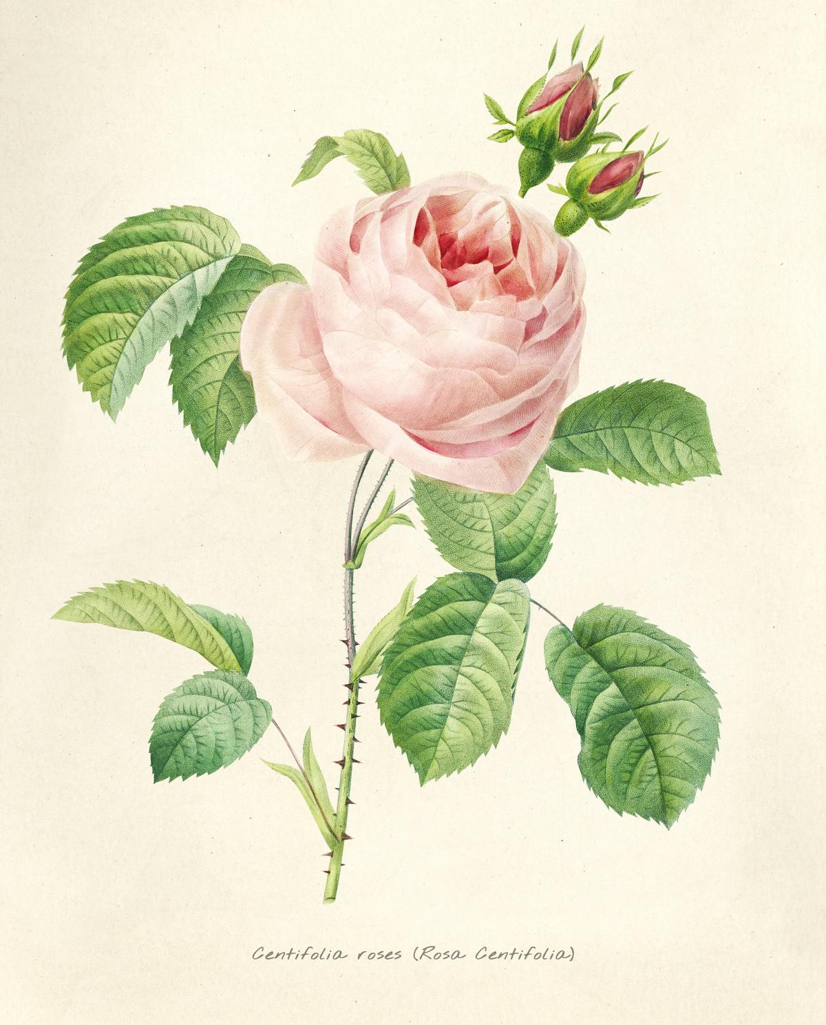 Antique plant drawn by Pierre-Joseph Redouté (1759–1840 ). Original from Biodiversity Heritage Library.  #398405