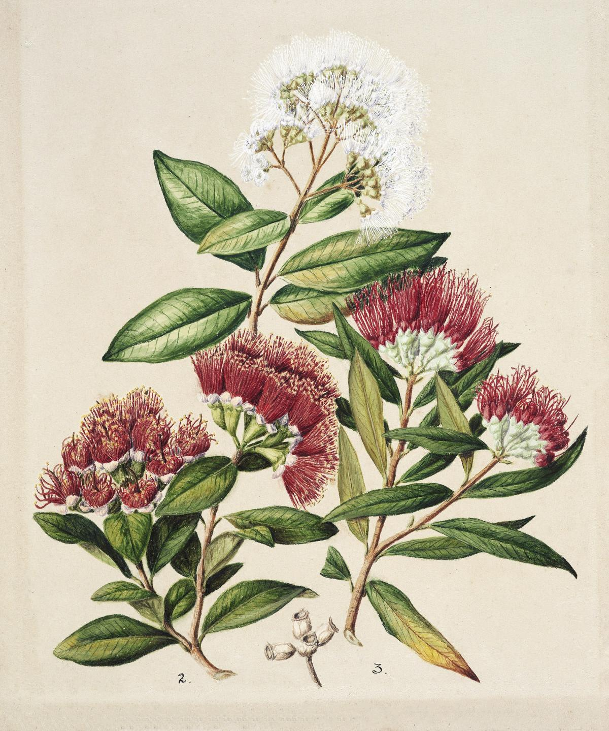 Antique plant White rata Southern rata Climbing rata drawn by Sarah Featon (1848–1927). Original from Museum of New Zealand.  #398681