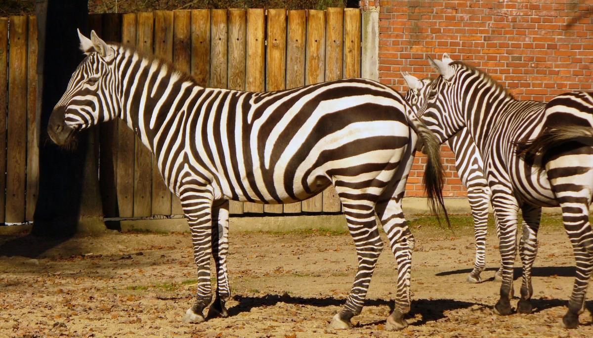 Zebras in Zoo - free stock photo