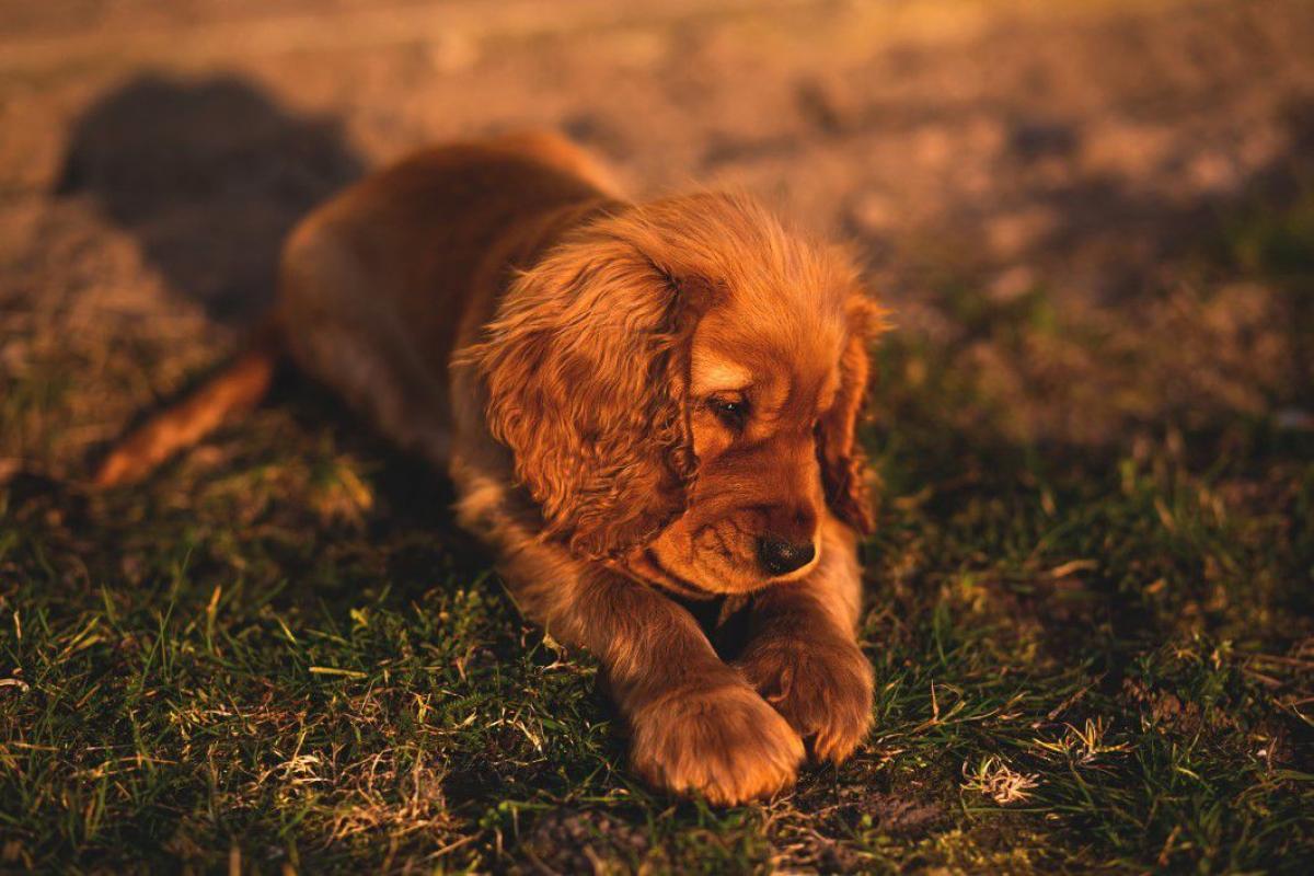 Cocker Spaniel Puppy Free Photo #402547