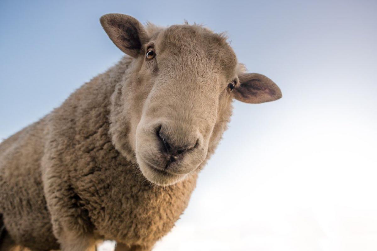Curious Sheep Blue Sky Closeup Free Photo #403103
