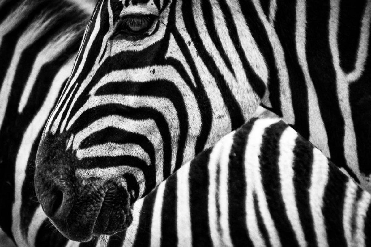 Black White Zebra Free Photo