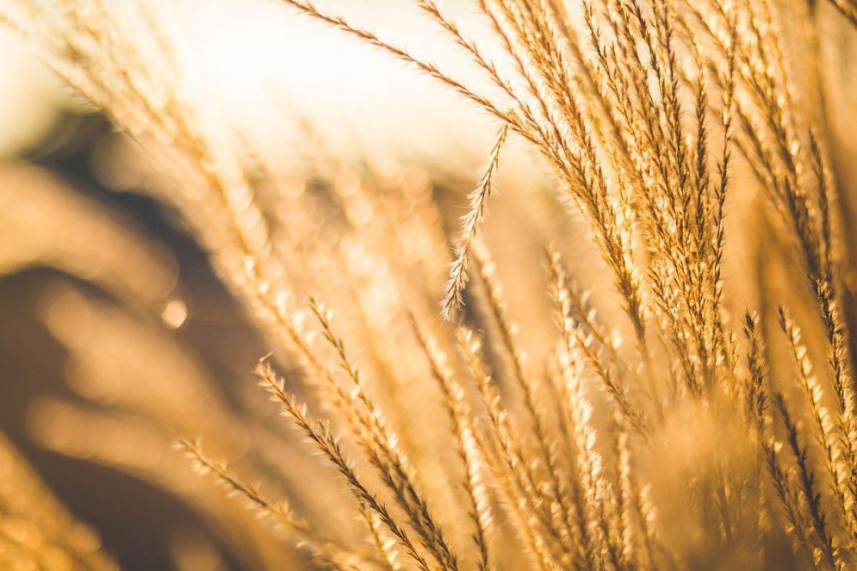 Farm Sun Glow Wheat Free Photo #403755