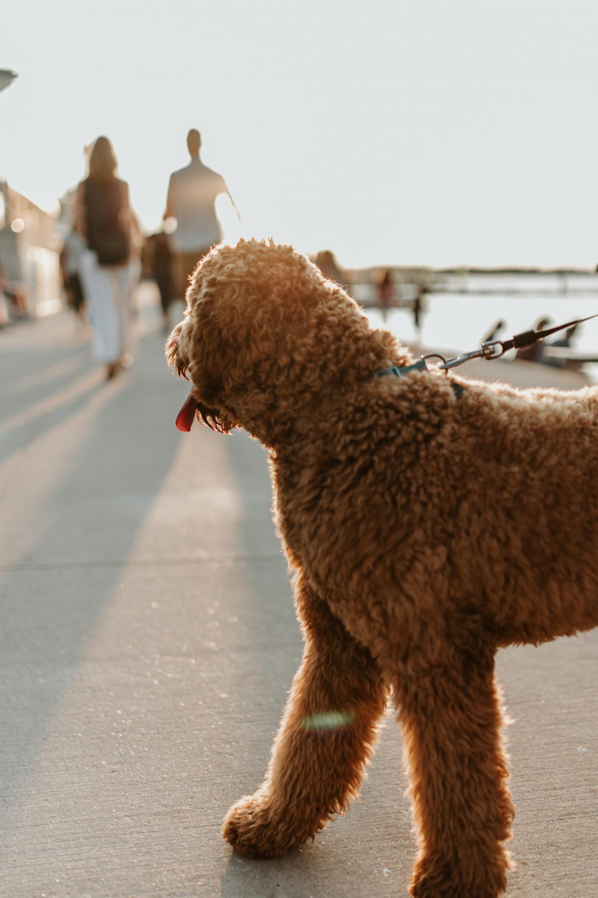 Poodle Dog Standard poodle #405289