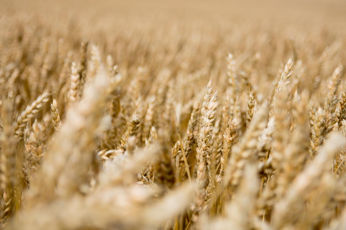 Wheat Cereal Field #406535