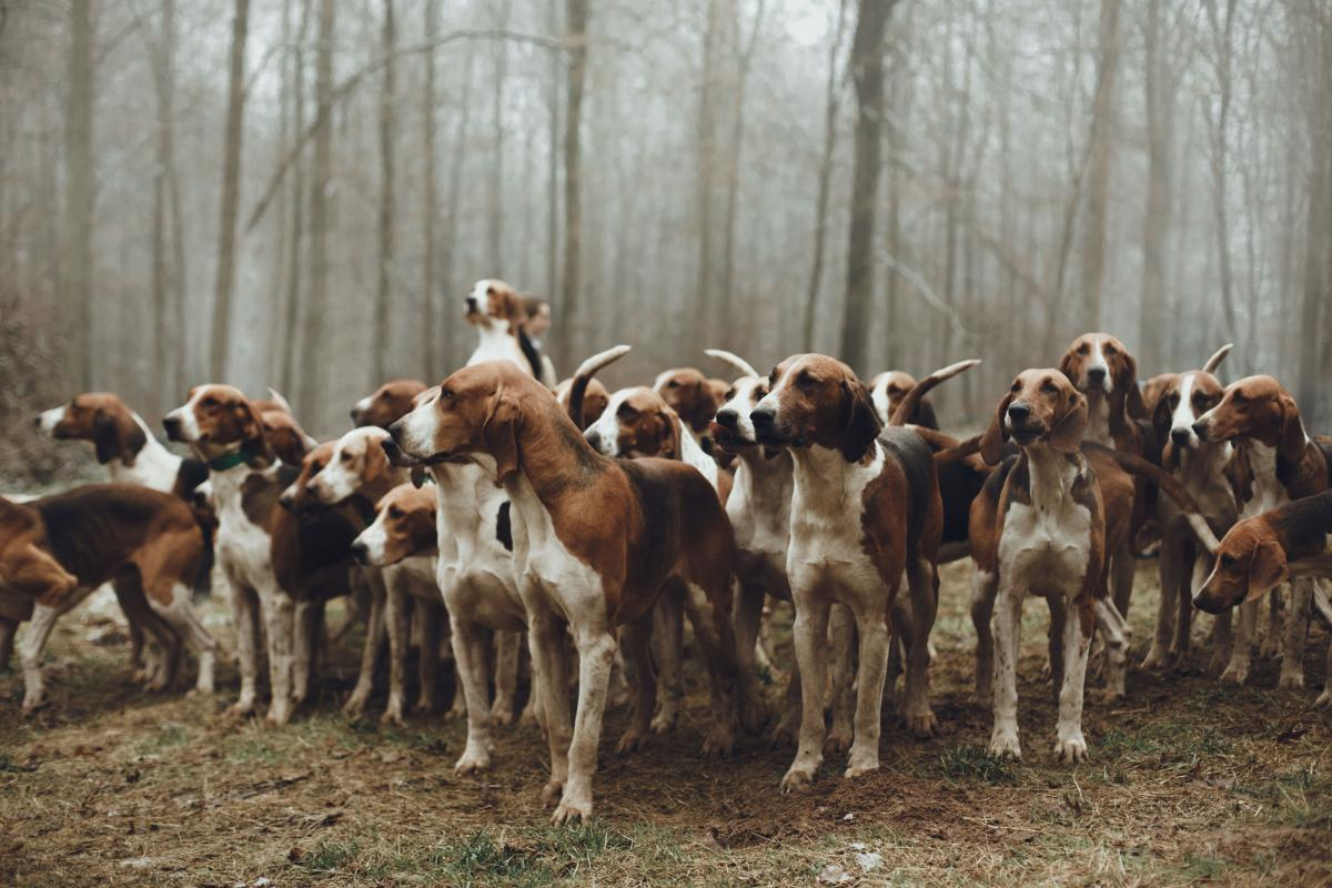 Foxhound Hound Hunting dog #408505