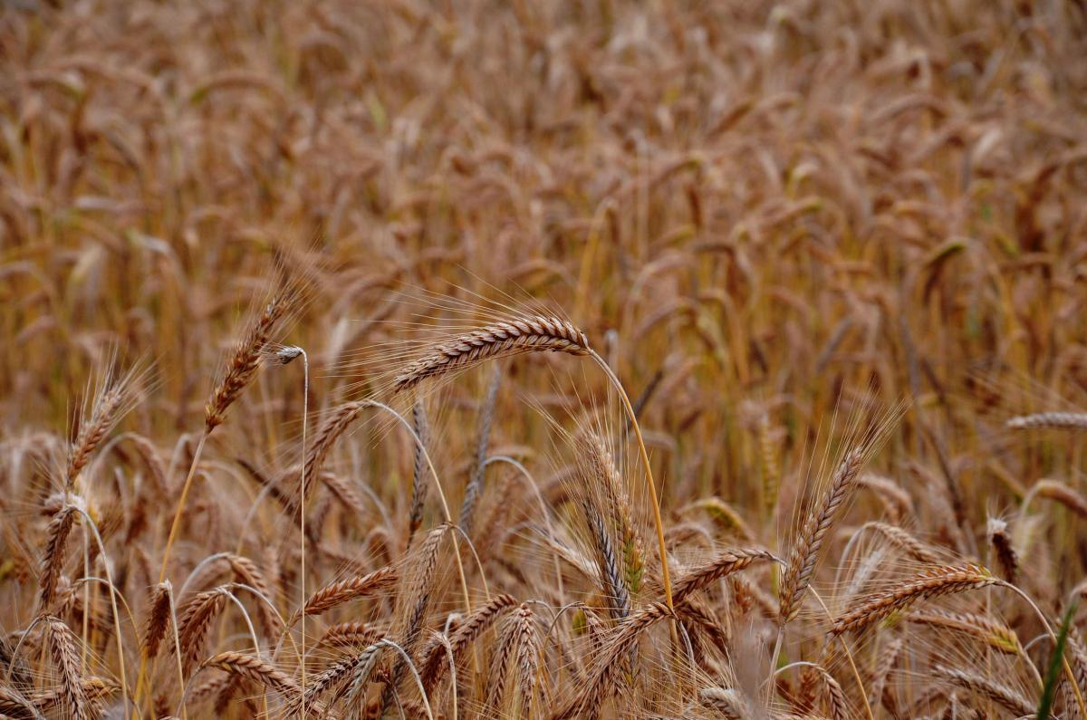 Field of grain #409129
