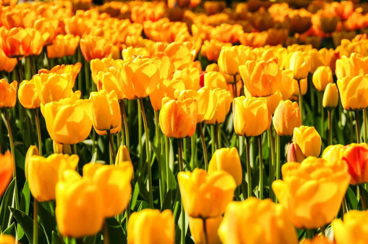 Flowers yellow tulips holland #41035