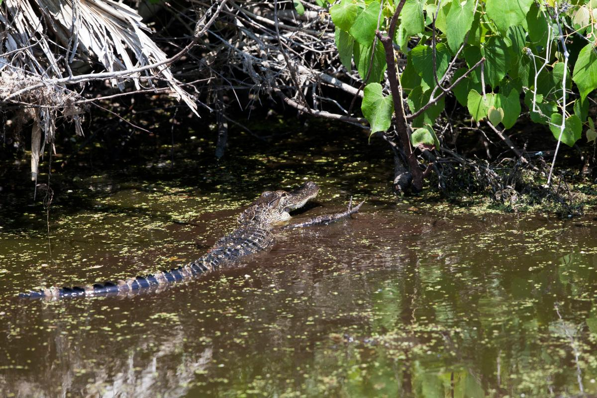 Wildlife Photography - Alligators