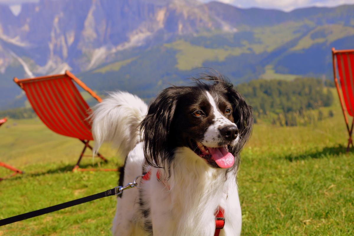 Spaniel Dog Springer spaniel #415809