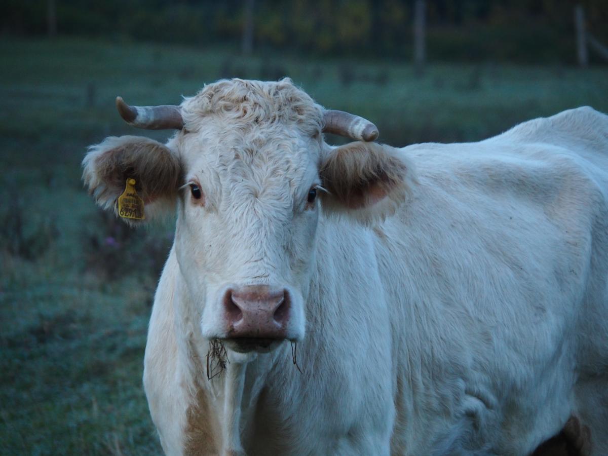 Cow Placental Mammal #416821