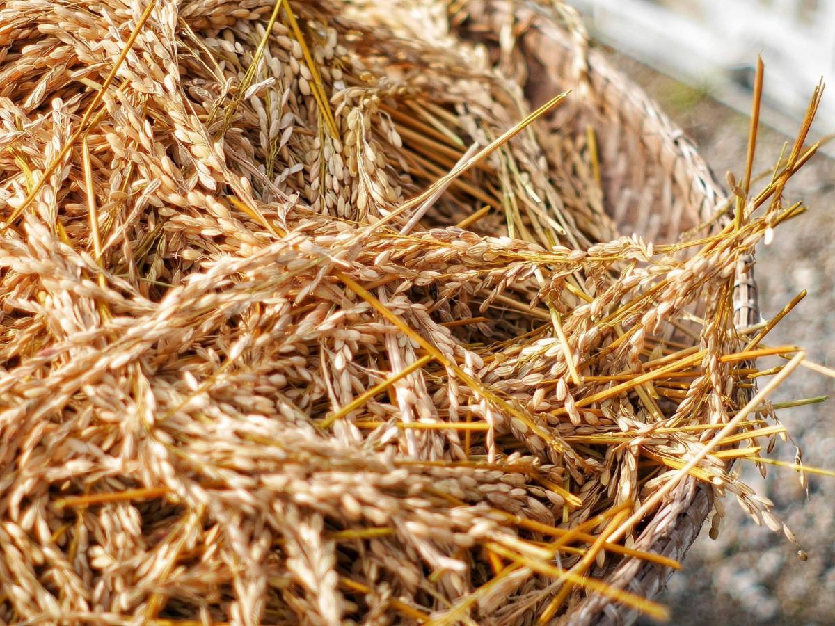 Hay Fodder Wheat #417143