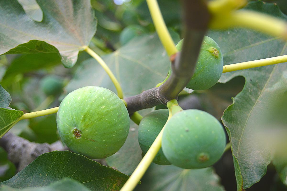 Fig Fruit Edible fruit #417264