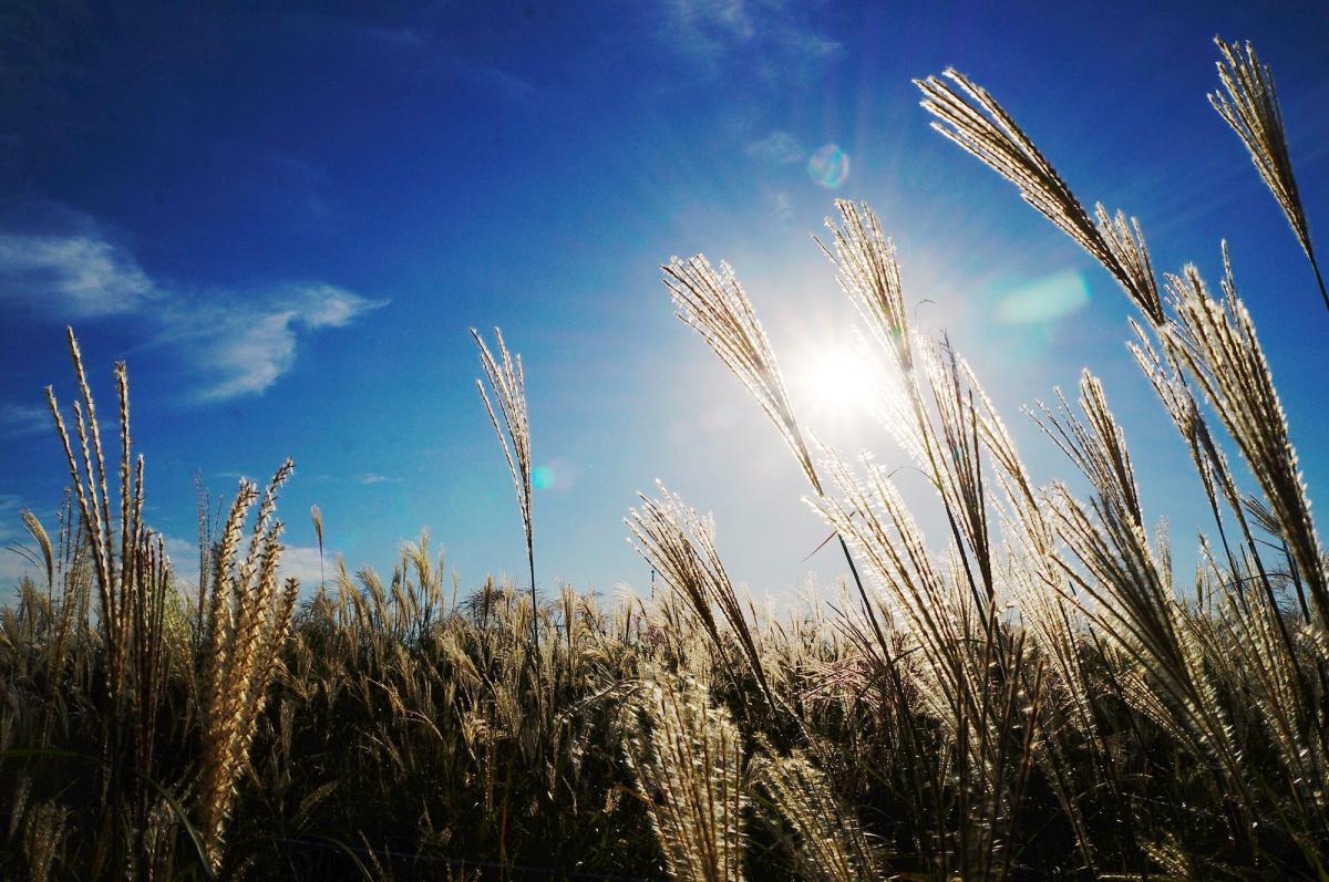 Wheat #417591