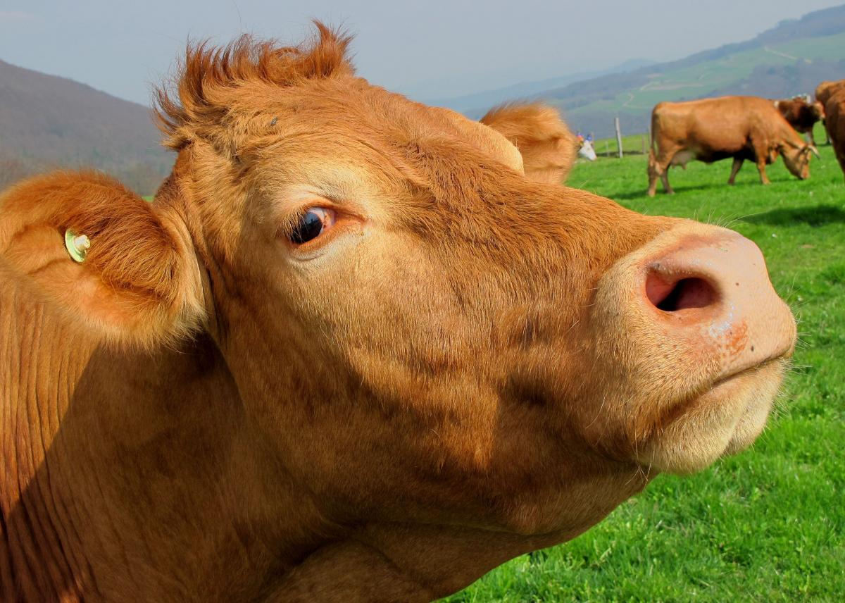 Brown Cow in Green Grass Field