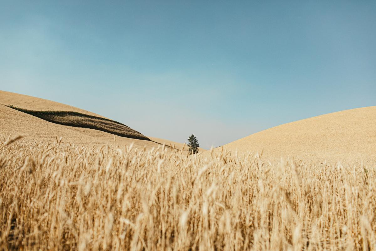 Wheat Cereal Field #417987