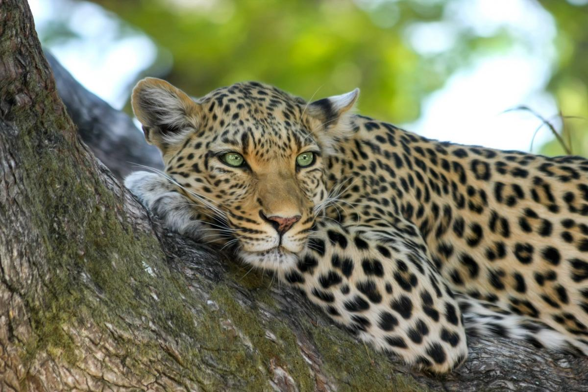 Leopard on Brown Trunk Tree #41813