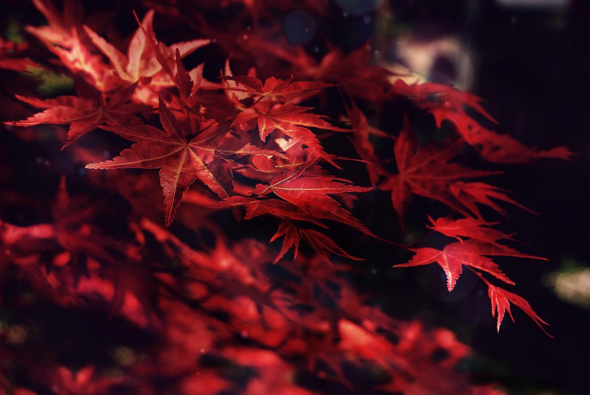 Maple Autumn Texture