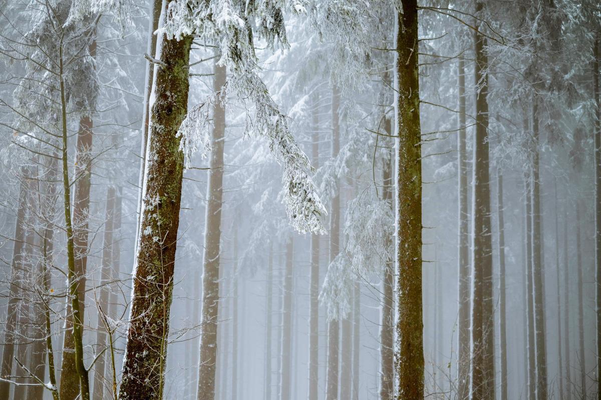 Tree Forest Birch