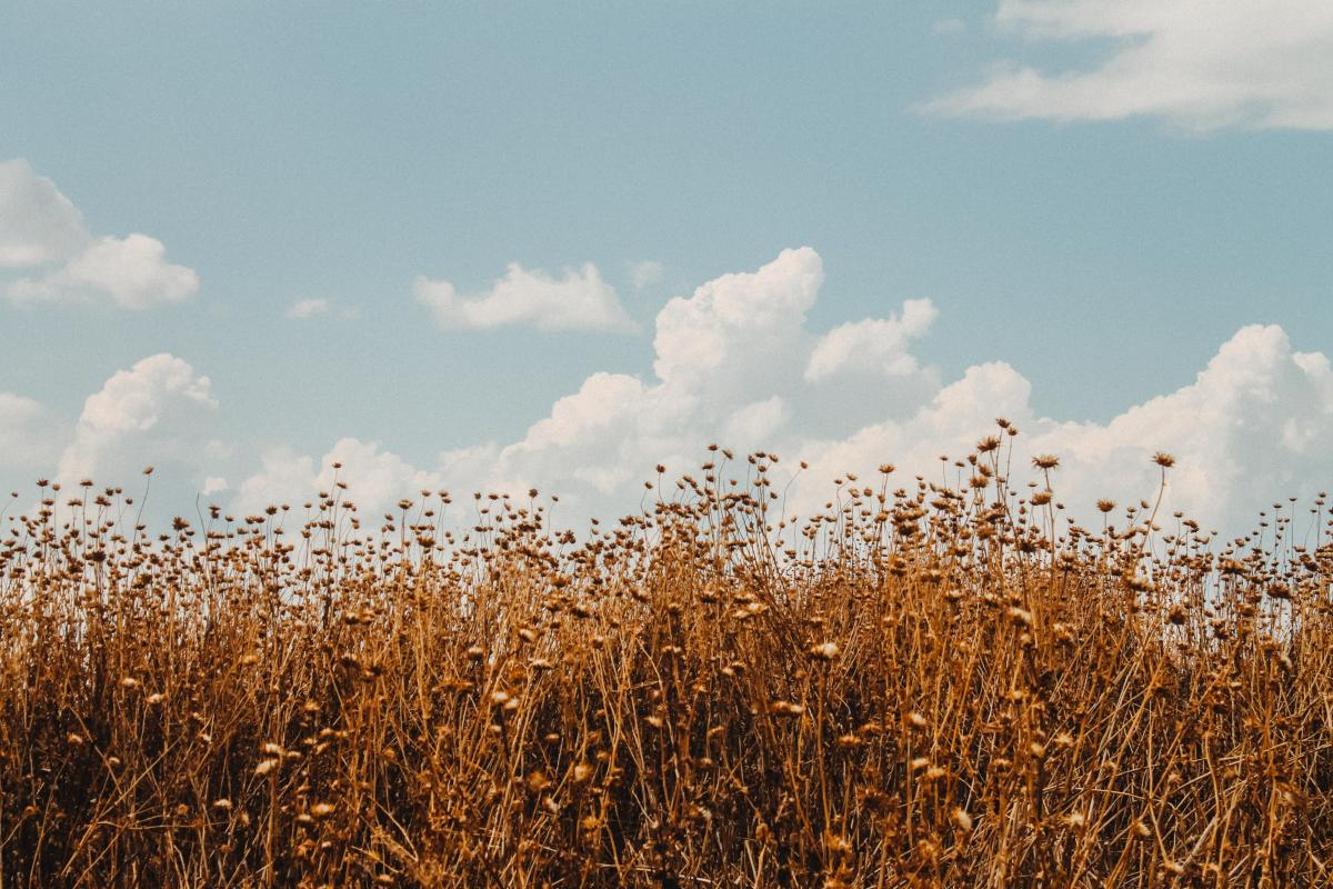 Wheat Cereal Field