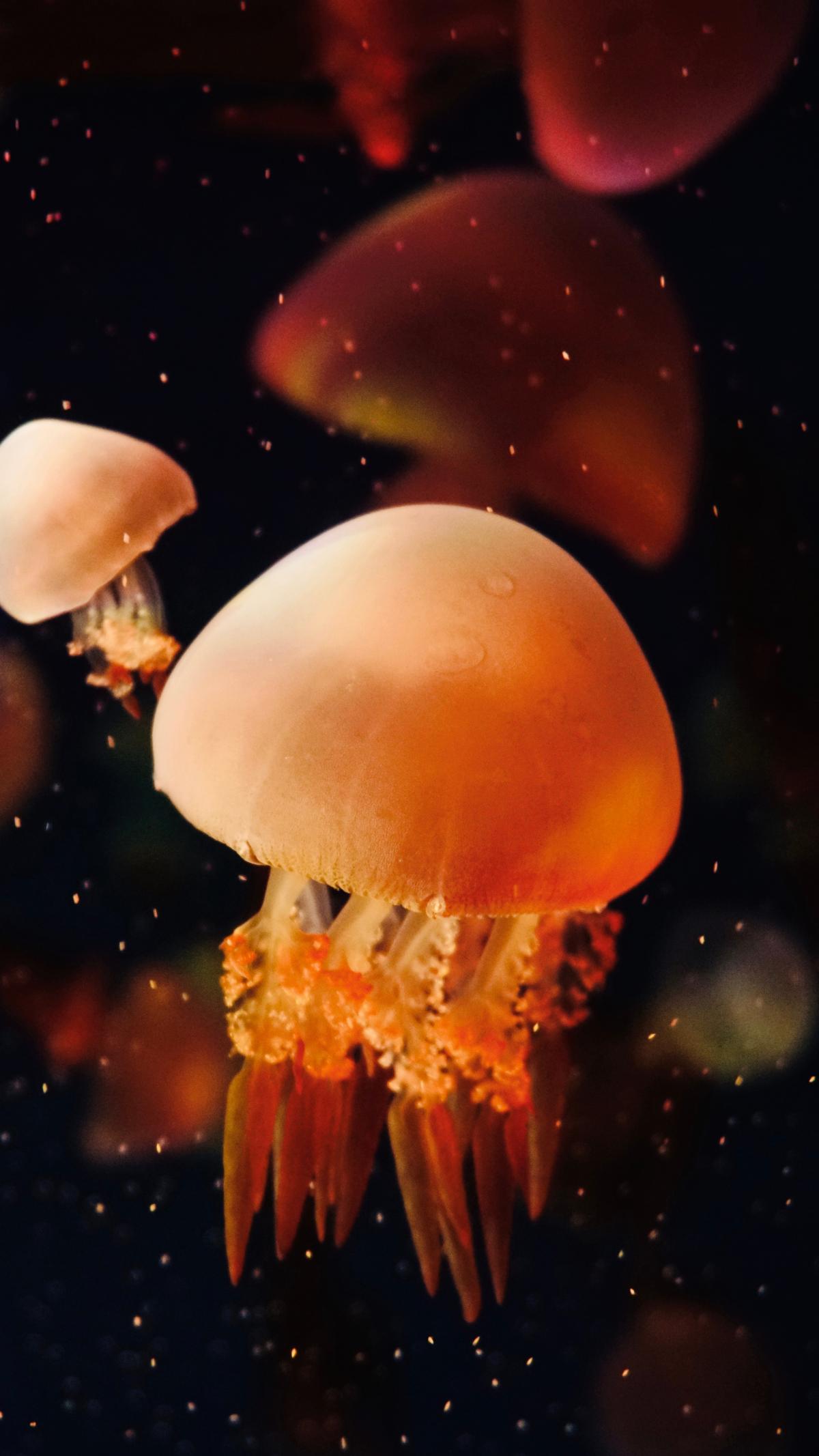 Jellyfish Invertebrate Animal