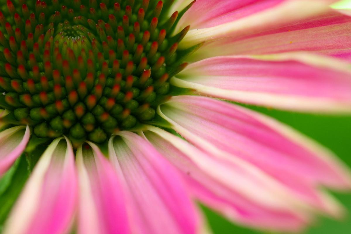 Petal Daisy Flower