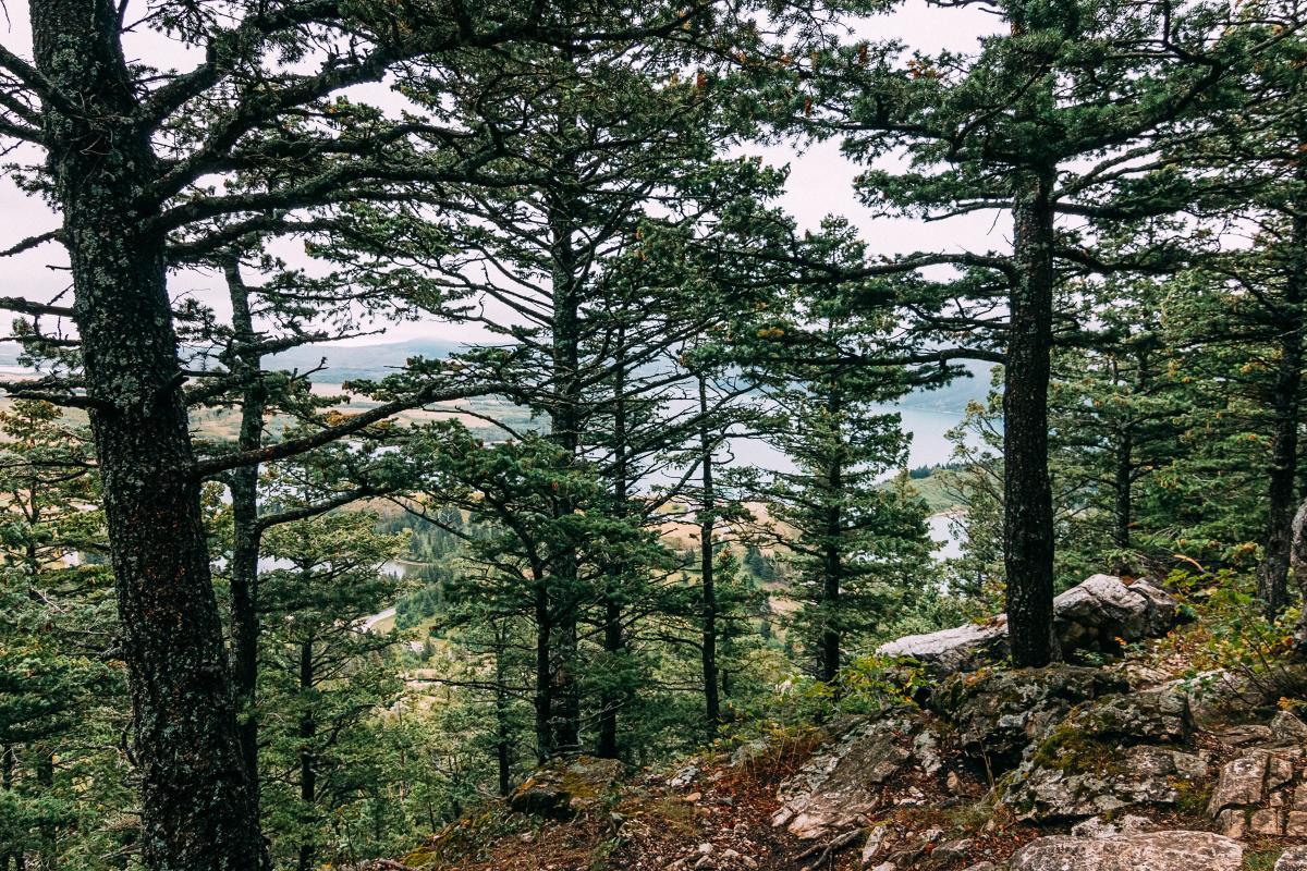 Tree Pine Oak