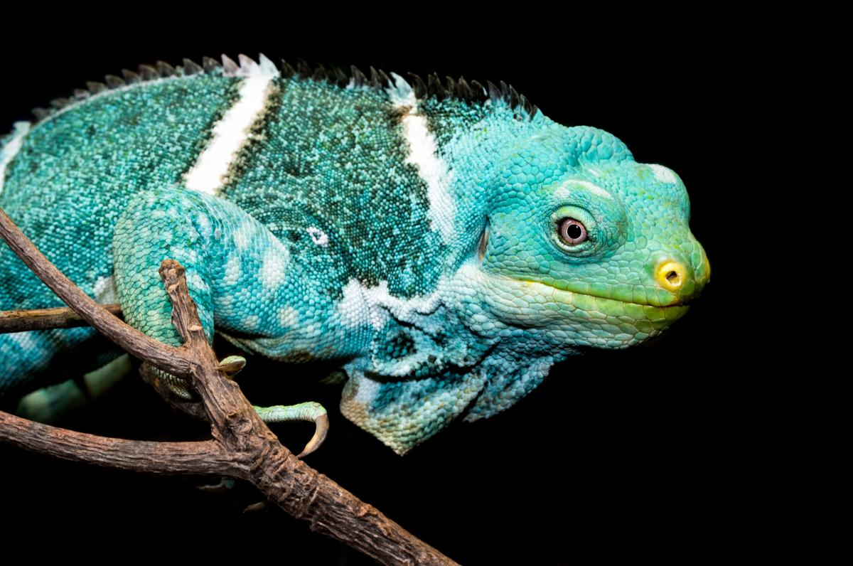 Chameleon Lizard Reptile
