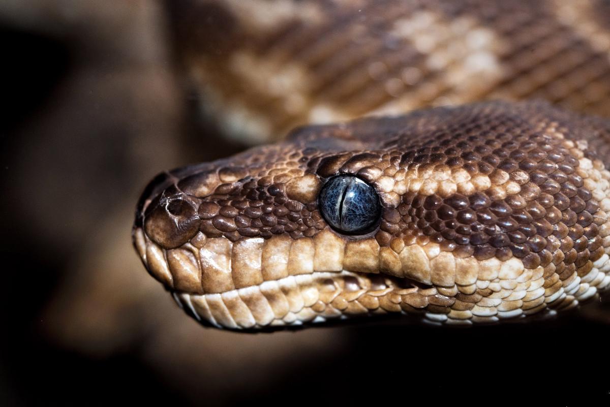 Snake Reptile Night snake