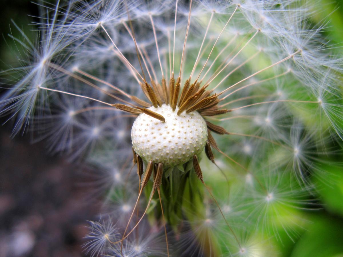 Dandelion Herb Plant