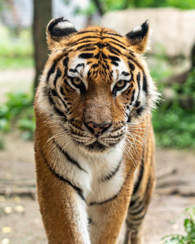 Tiger Feline Cat #419796
