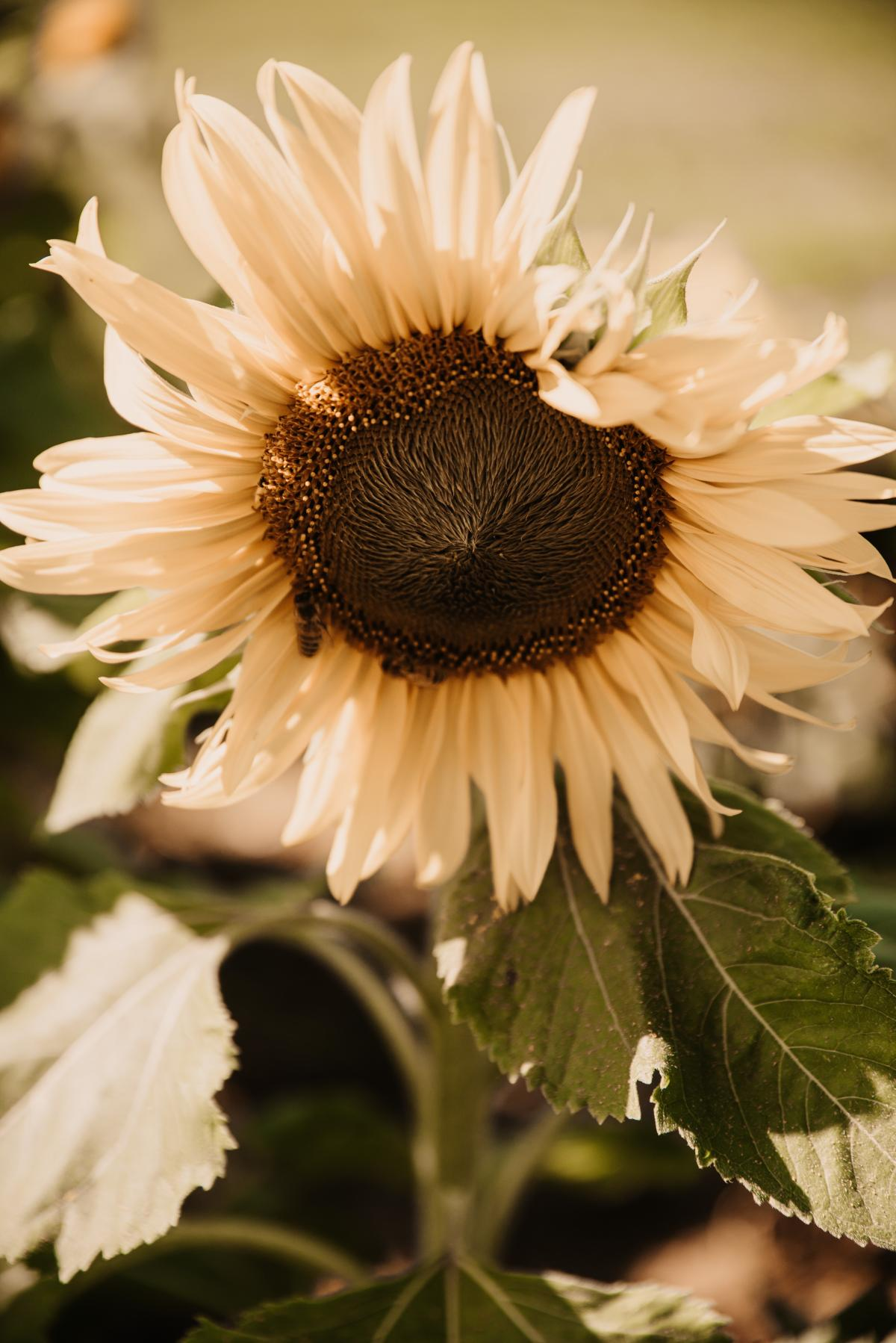 Sunflower Flower Yellow #419828