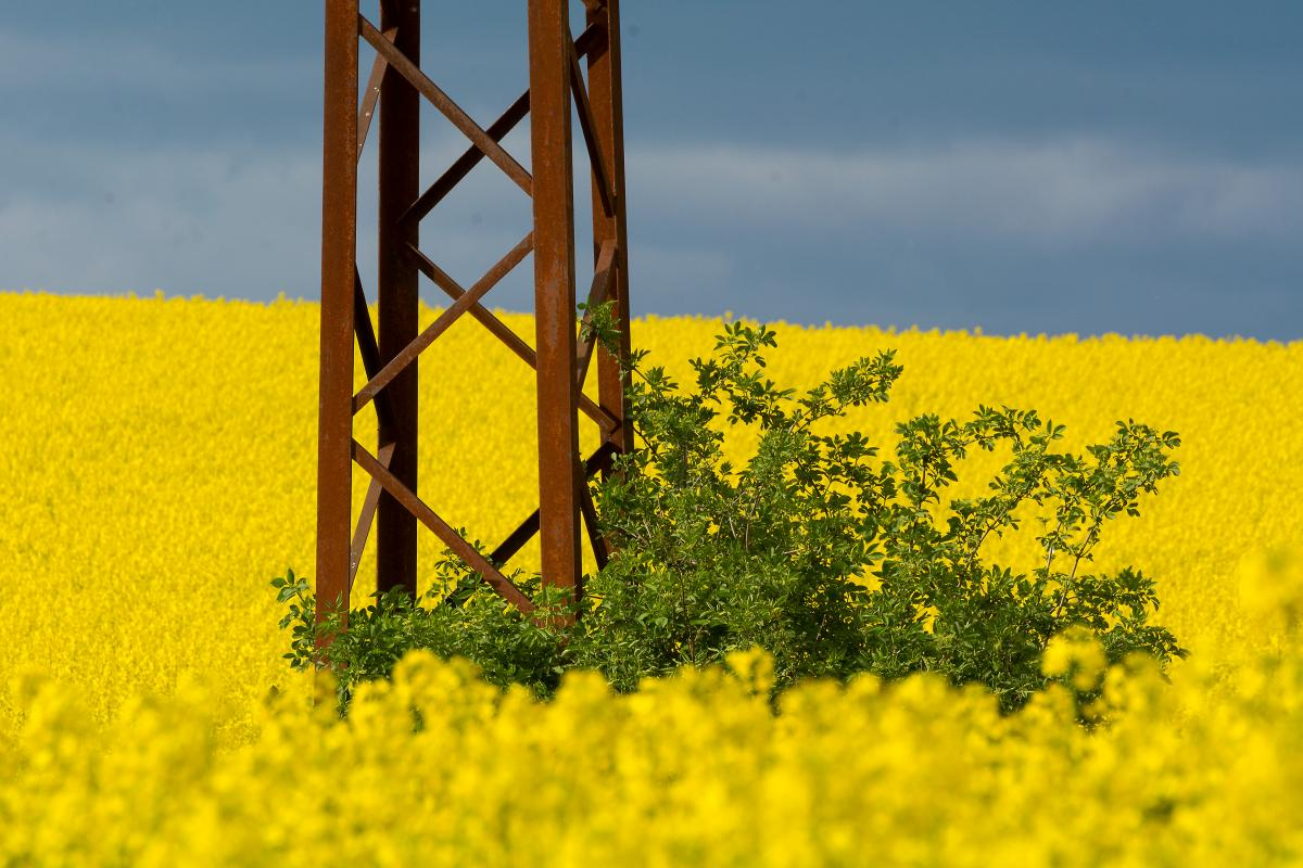 Electric Pole in Rapeseed Field - Free Image For Commercial Use #419845