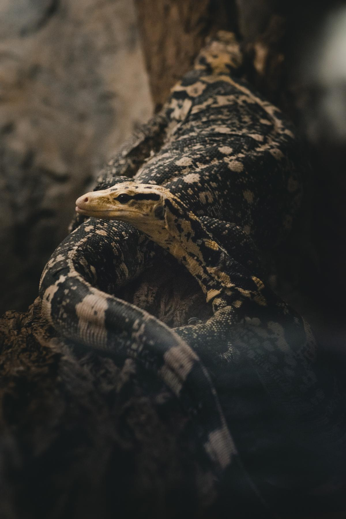 Gila monster Venomous lizard Lizard