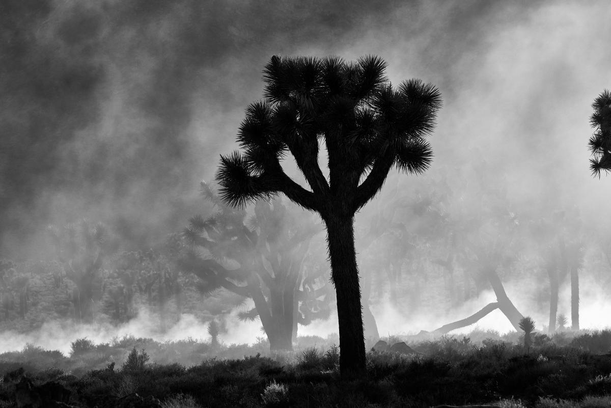 Yucca Shrub Woody plant #419919
