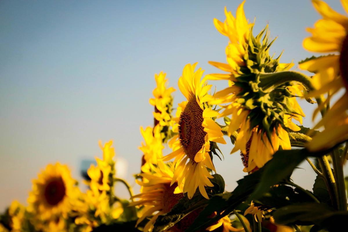 Sunflower Flower Yellow #420026