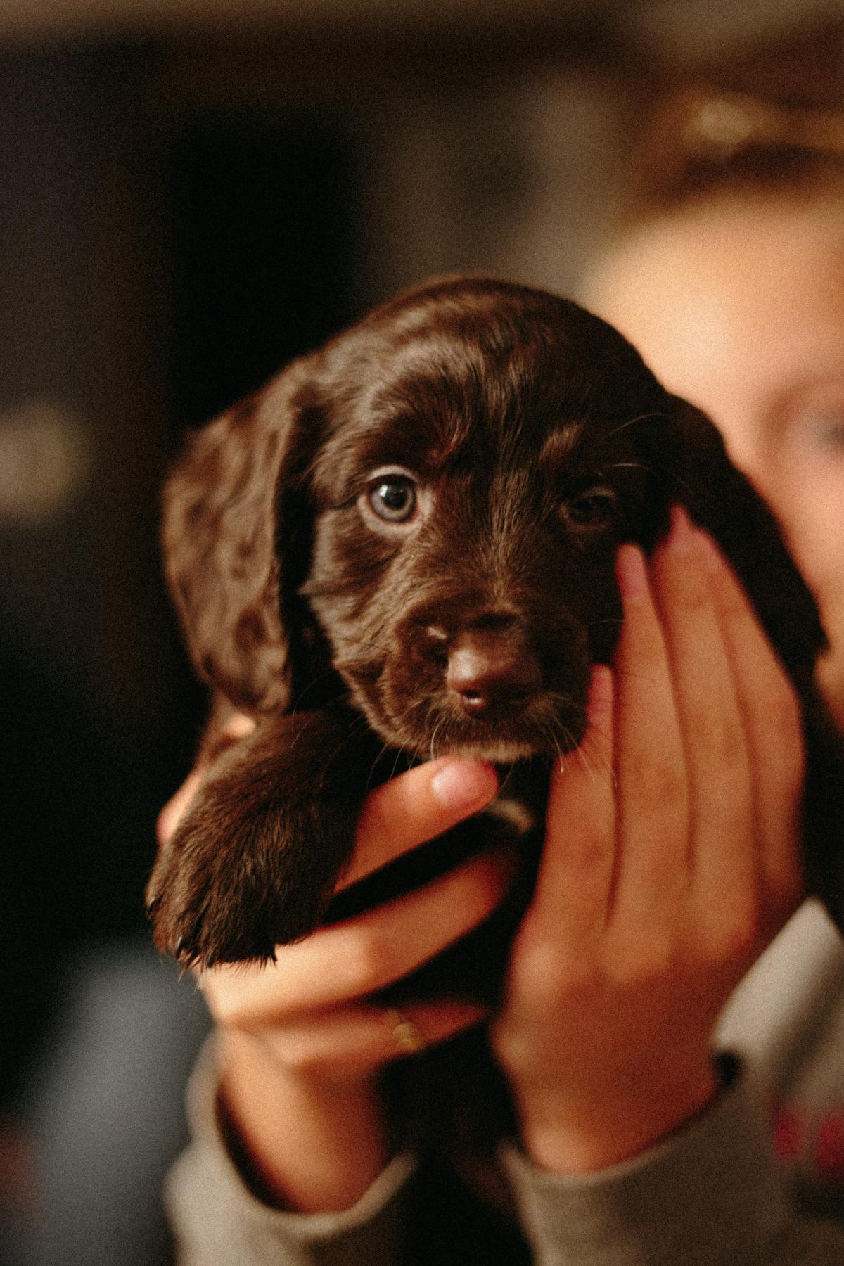 Spaniel Dog Puppy #420041